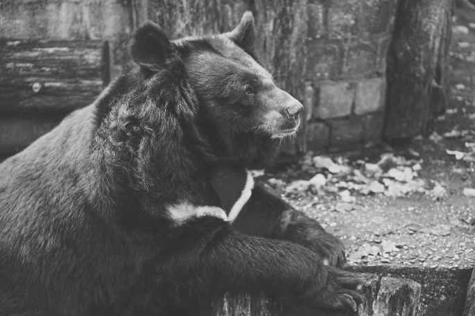 alone animal animal photography bear